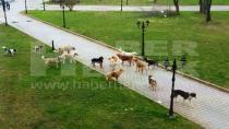 Sürü Halinde Gezen Köpekler Korku Saçıyor